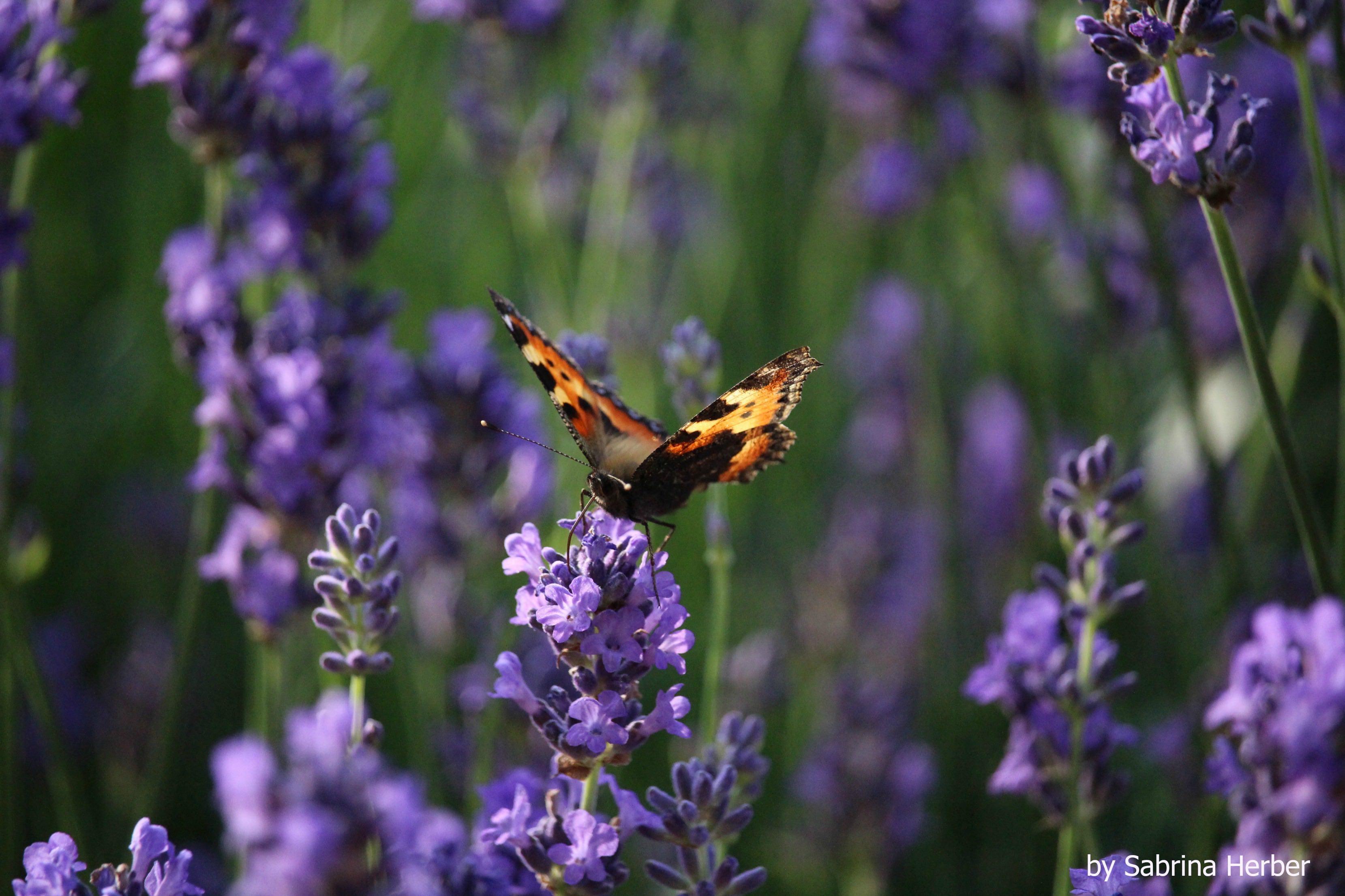 Aromatherapie Lavendel Kopie