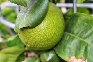 Bergamotte - ein wertvoller Helfer in der dunklen Jahreszeit