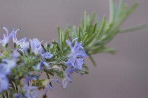 Aromatherapie mit Rosmarin cineol