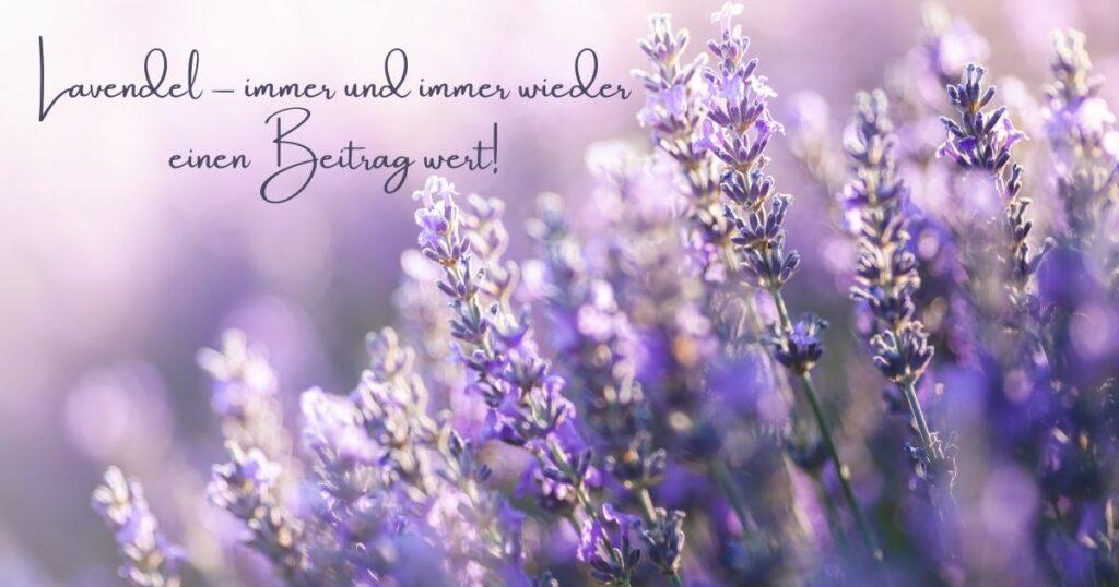 Lavendel - immer und immer wieder einen Beitrag wert!