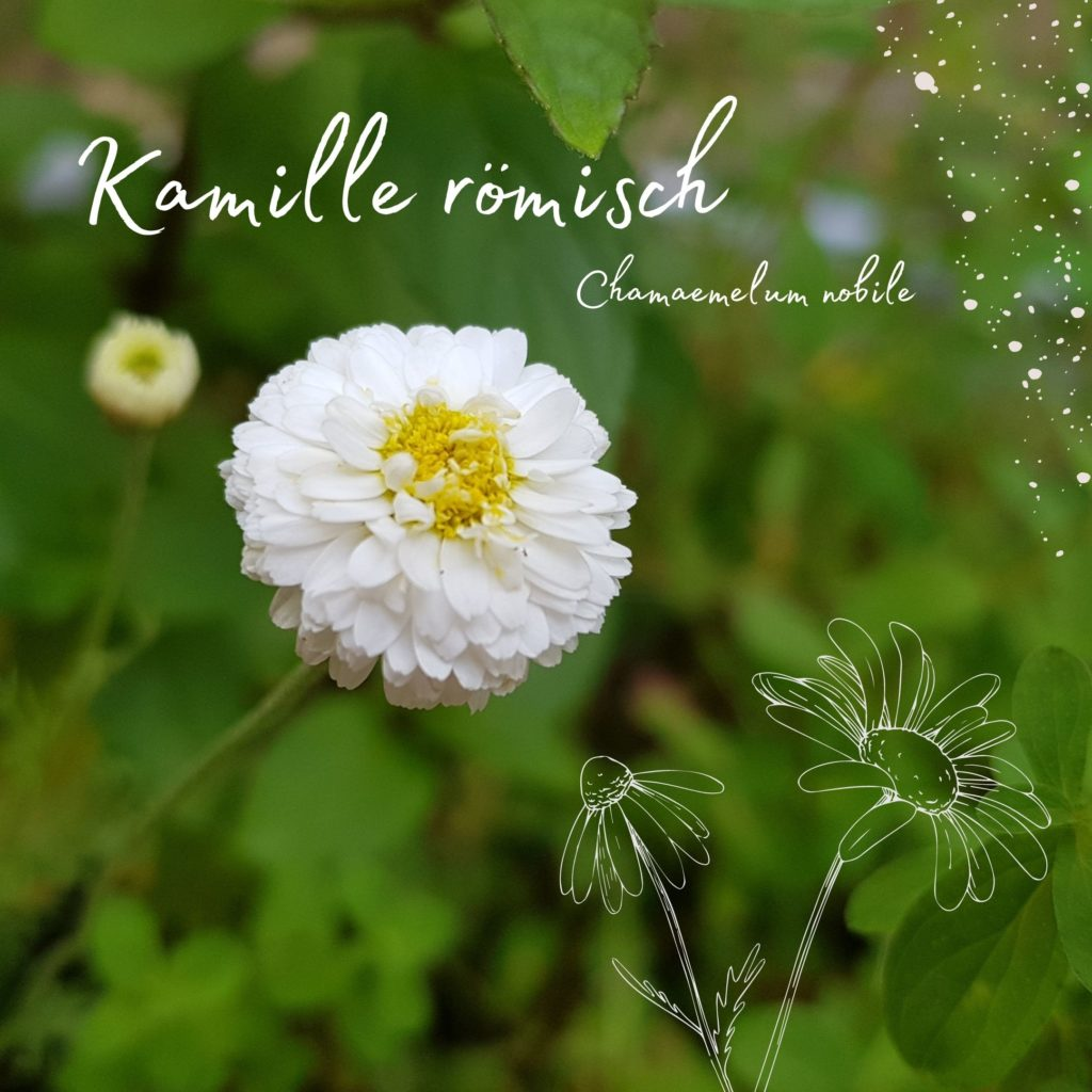Aromatherapie mit Kamille bei Mobbing und Ängsten